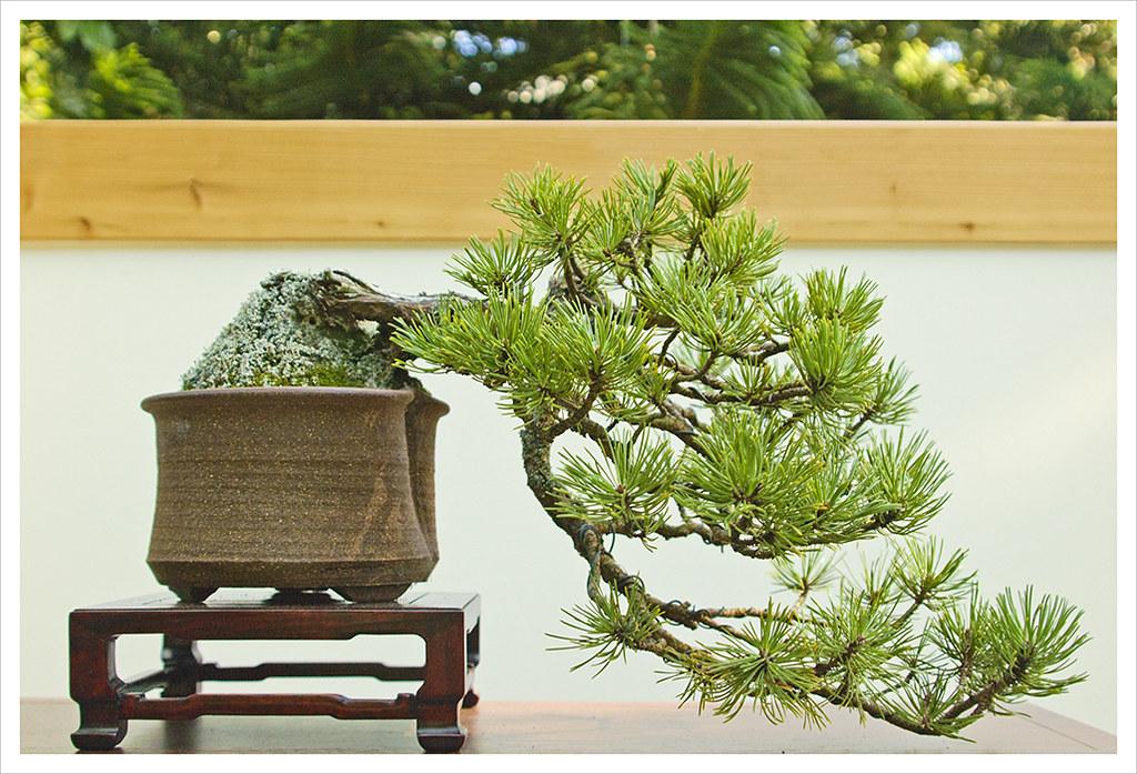 Dwarf Mountain Pine, Bronx, NY | Bernard Gastrich\'s Kengai, … | Flickr