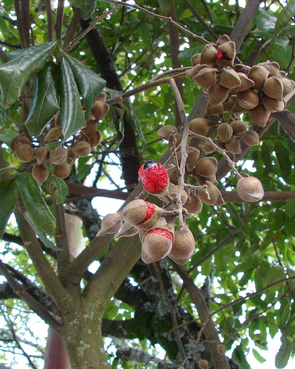 Titoki Alectryon Excelsus Fruit Seeds Alectryon