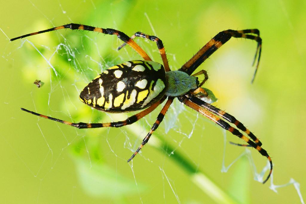 Black And Yellow Garden Spider Black And Yellow Garden Spi Flickr