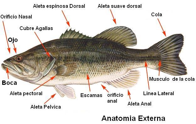 Anatomia Externa | Partes y organos externos de los peces | Candido ...
