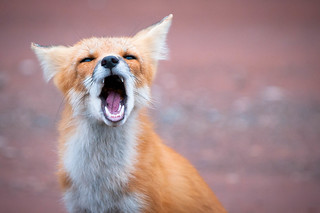 PEI Red Fox (GS) | by Insight Imaging: John A Ryan Photography