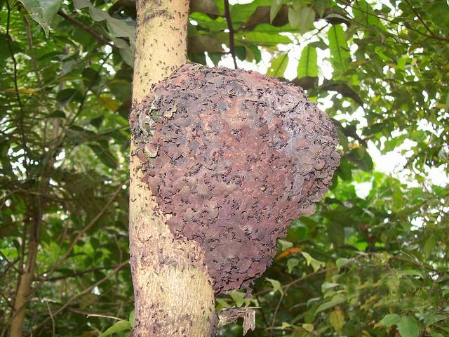 barteria fistulosa nid de fourmis munsakala minsumisumi flickr photo sharing. Black Bedroom Furniture Sets. Home Design Ideas
