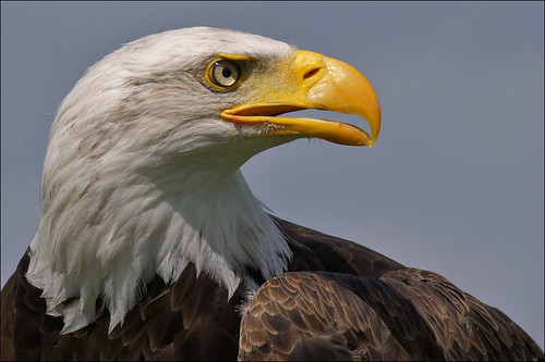 Proud Bald Eagle | by Foto Martien (thanks for over 17 million views)