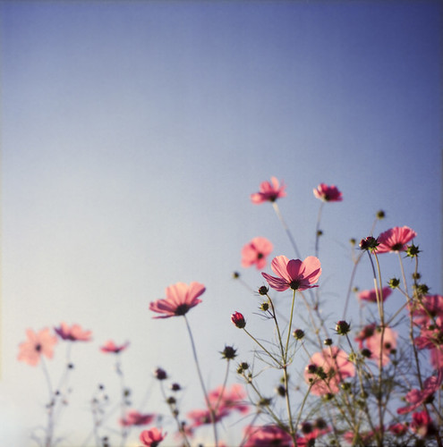 sunset cosmos | by yocca