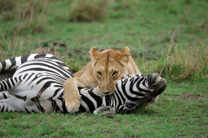 What do white lions eat - photo#26