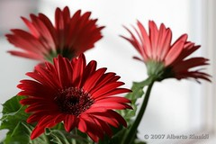 Flowers in the kitchen (Red Gerbera)