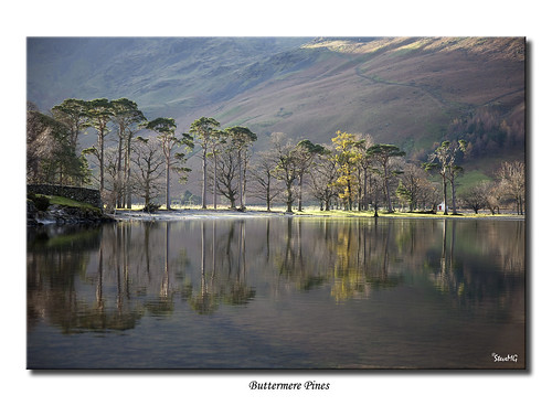 Buttermere Pines | by SteveMG