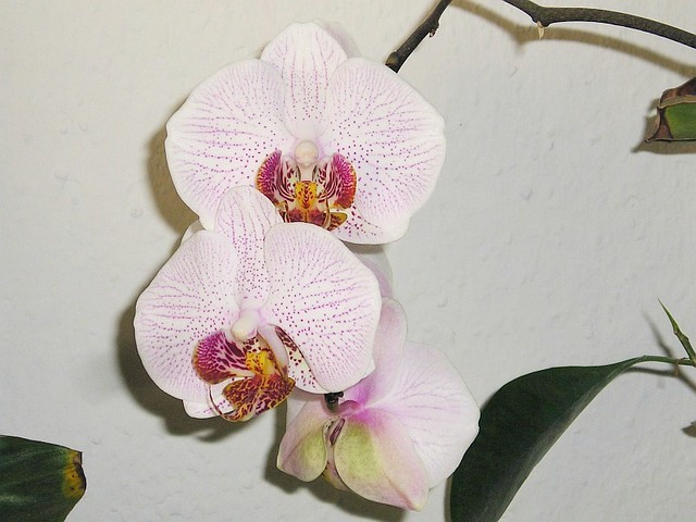 wei e phalaenopsis orchidee flickr photo sharing. Black Bedroom Furniture Sets. Home Design Ideas