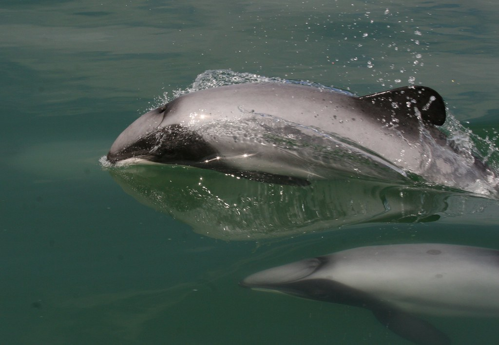 Image result for maui dolphin