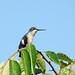 Humming Bird 03