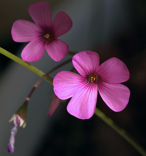 2 Pink Oxalis Flowers | by cobalt123