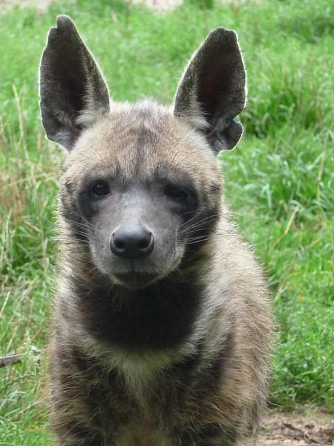 Striped hyena face