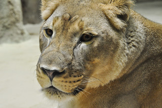 Lioness | by ThucY4611