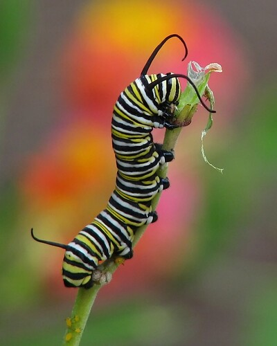 Monarch Cat | by Vicki's Nature