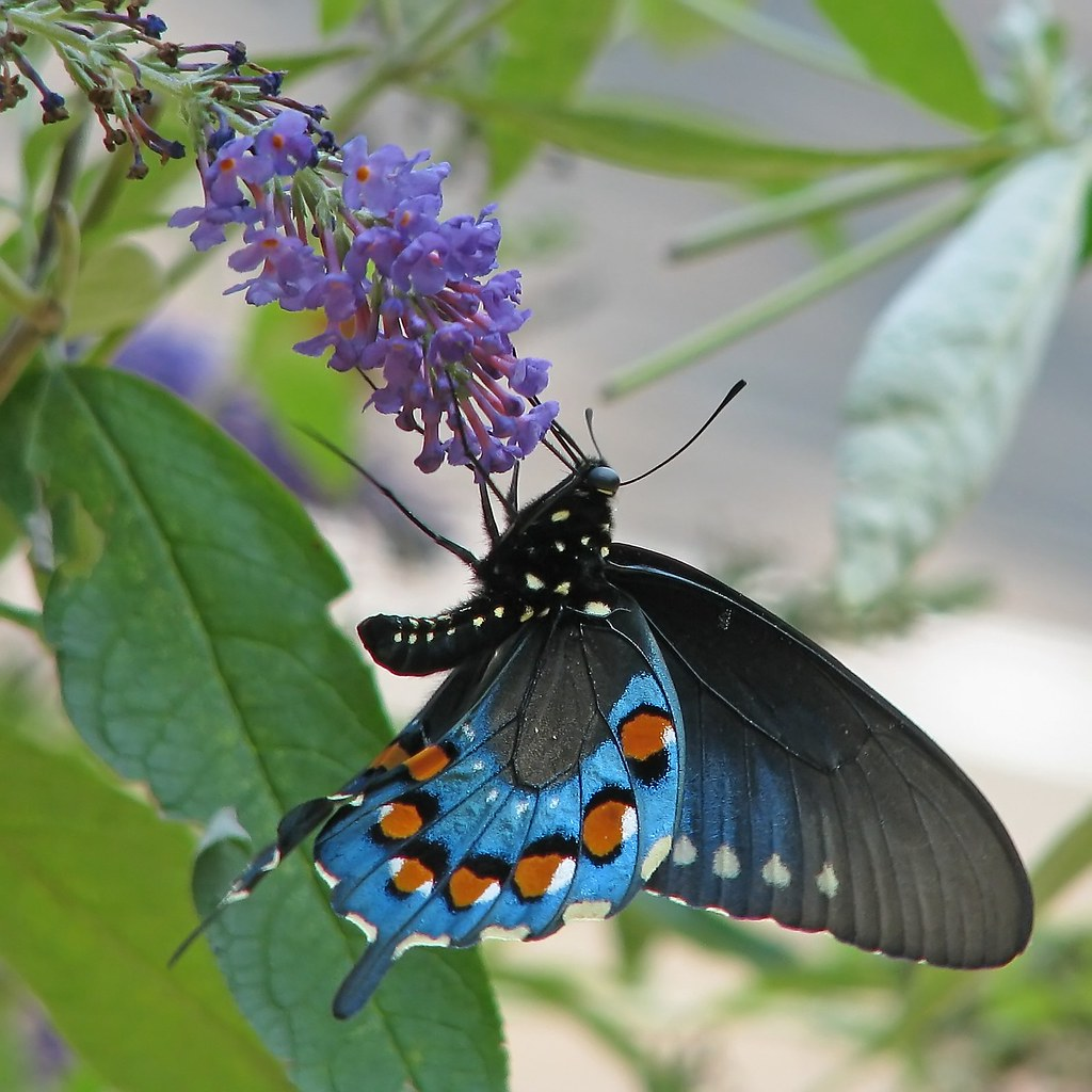 Pipevine Swallowtail butterfly | Mike Powell |Pipevine Swallowtail Butterfly