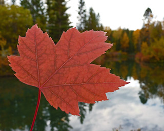 Red Maple Leaf | by njchow82