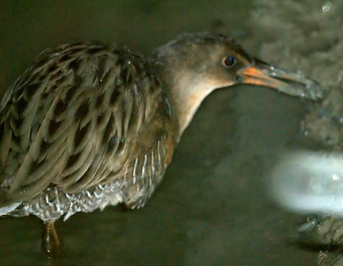 California Clapper Rail | by Mike's Birds