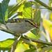 Pallas's Warbler /Kungsfågelsångare (Phylloscopus proregulus)