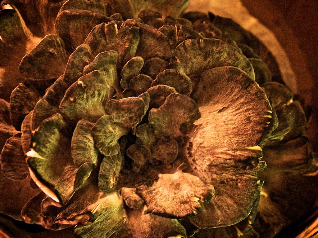 maitake medicinal mushrooms