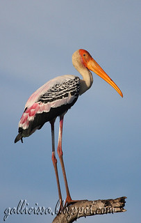 Painted Stork | by Gallicissa