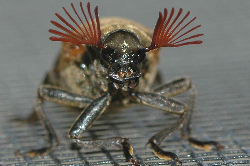 Cicada Parasite Cedar Beetle Sandalus Petrophyus