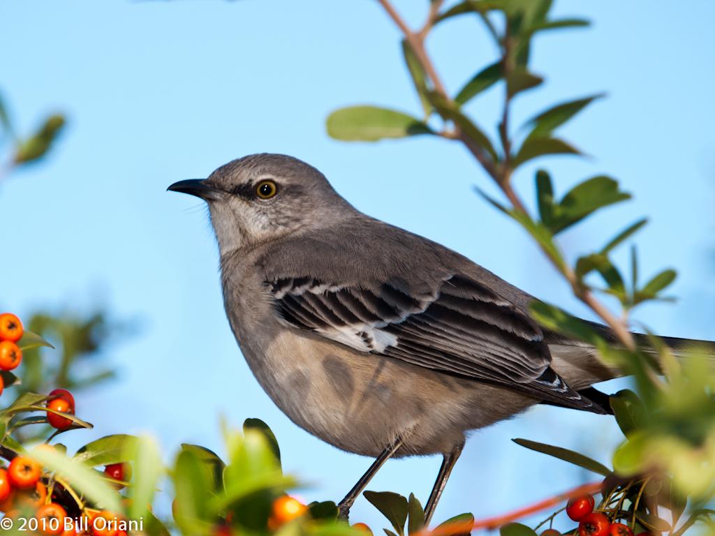 mockingbird texas state bird photo by bill oriani bill oriani