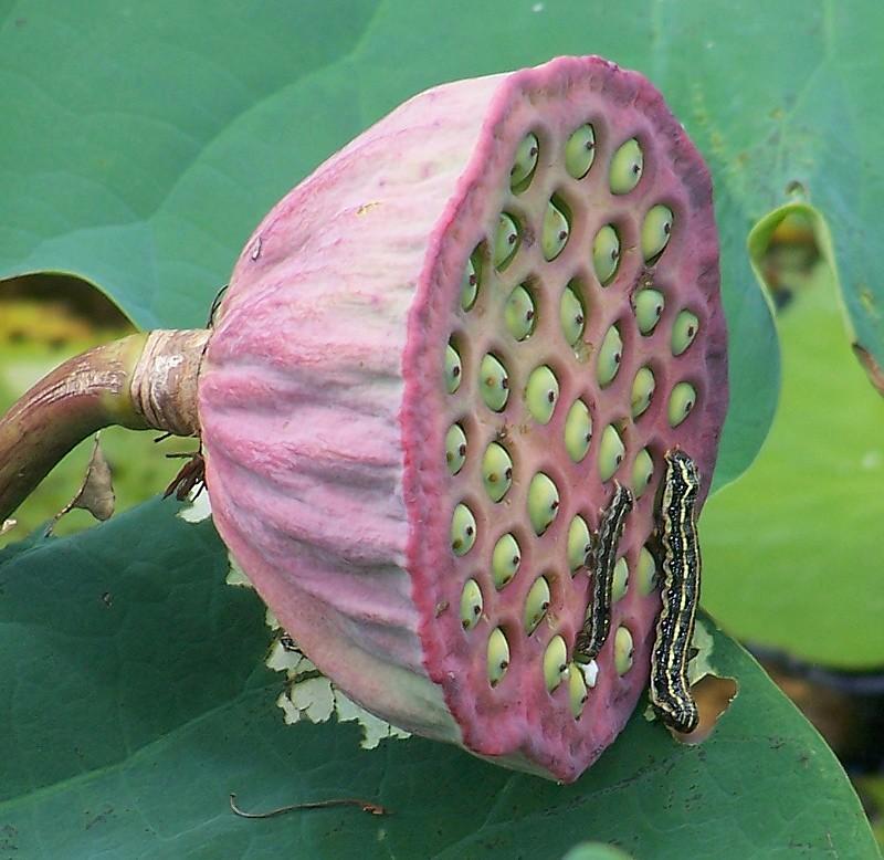 ... Nelumbo Nucifera (Lotus) Seedpod With Caterpillars   By Oriolus84