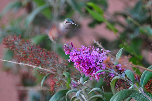 hummer and the butterfly bush III | by bytegirl24