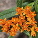 Butterfly weed Asclepias tuberosa_1479