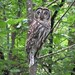 Barred Owl on South Fraser Witness Trail