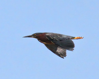 Green Heron | by claybuster1(doing good just very busy)