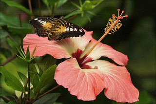 Brown Clipper on a Hibiscus | by Foto Martien