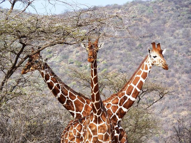 Three headed giraffe!