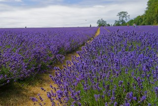 lavender field | by mazu_92