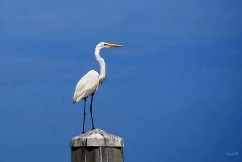 GREAT EGRET, Ardea alba | by tsiya