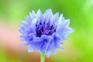 Blue Cornflower | by Nikki-ann
