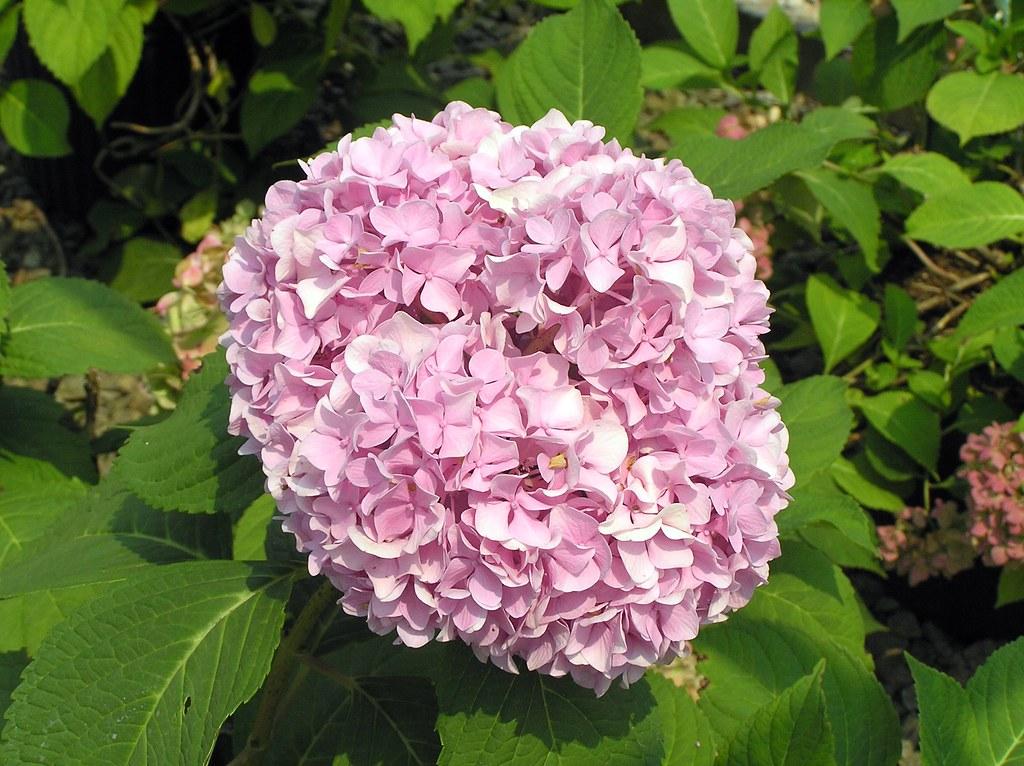 hydrangea macrophylla 39 endless summer 39 1 klr clemson. Black Bedroom Furniture Sets. Home Design Ideas