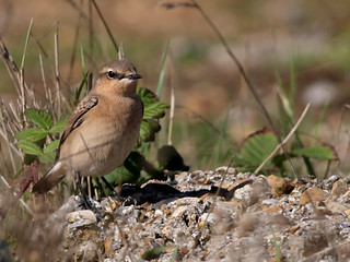 Wheatear | by Quantum Tiger