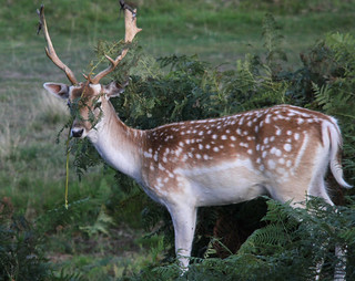 Fallow Deer In Disguise | by Dan Belton ( No Badger Cull )