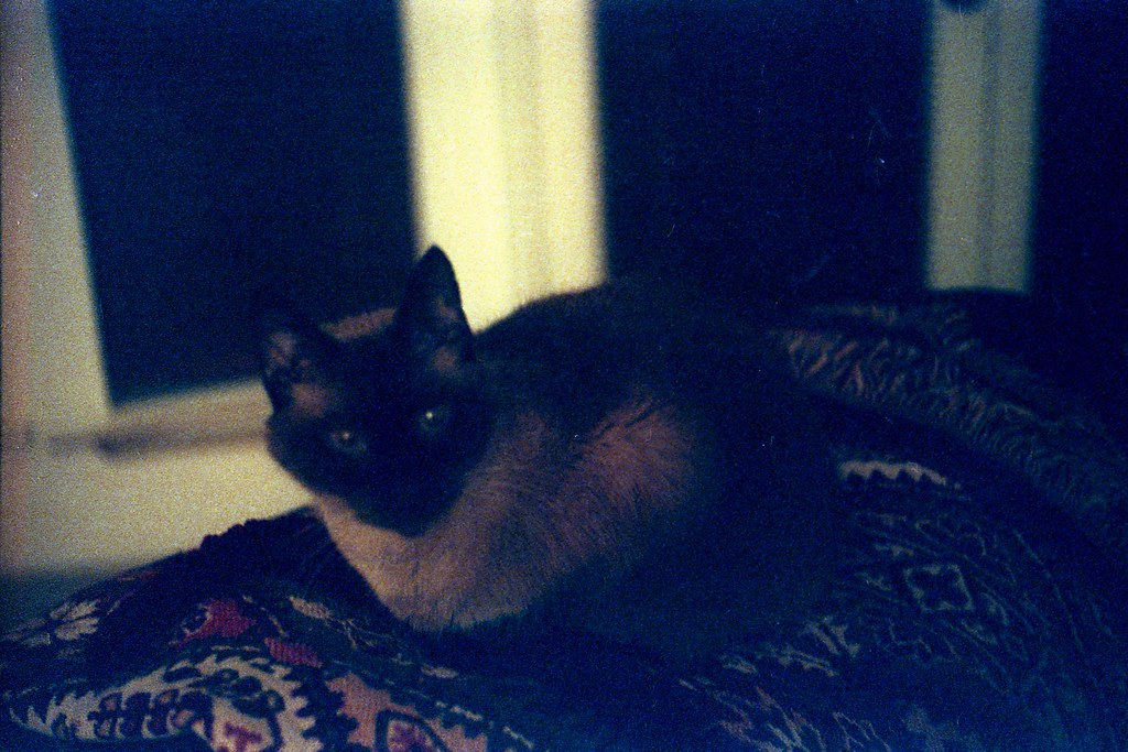 Siamese Cat Keeping Me Up