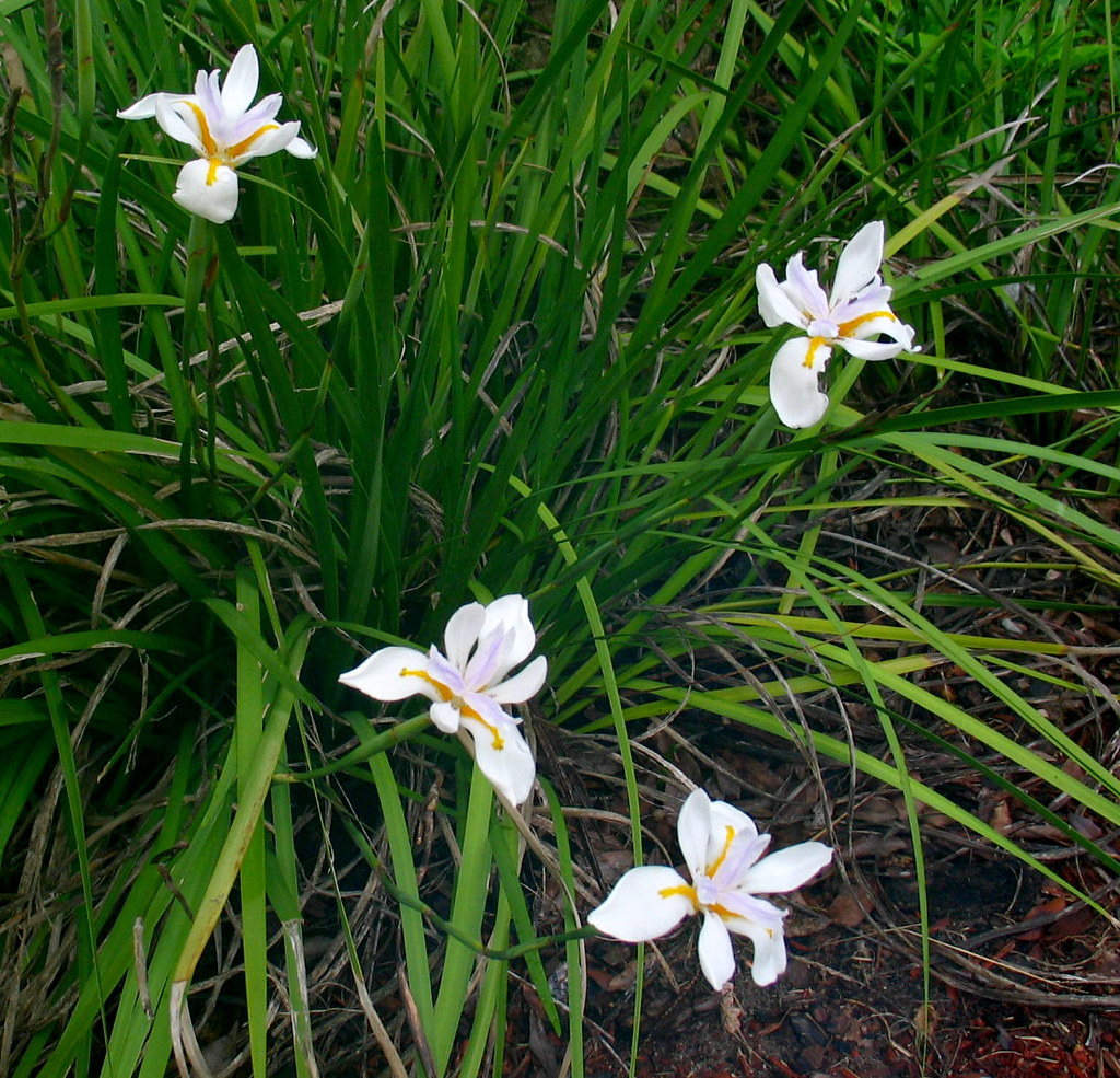 Green Grass Lily Flowers | Christopher Sessums