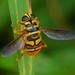 Milesia virginiensis- Virginia Flower Fly