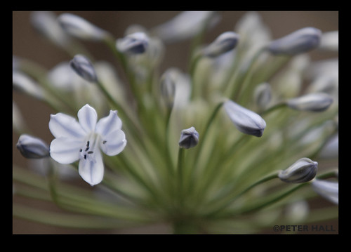 Awakening Allium | by peterphotographic