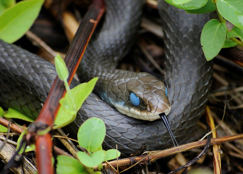 Black Racer Snake Quot In The Blue Quot Black Racer Snake