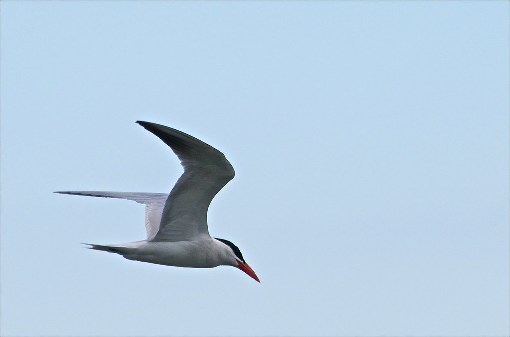 Caspian Terns Diving &...