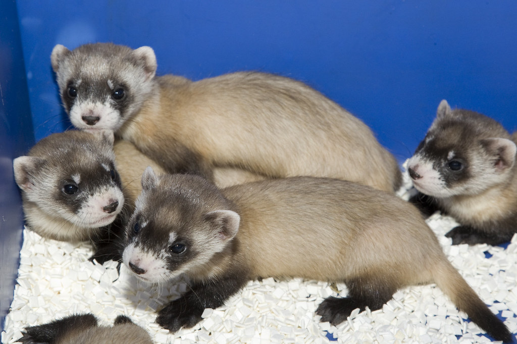 Black-Footed Ferrets vs. Prairie Dogs