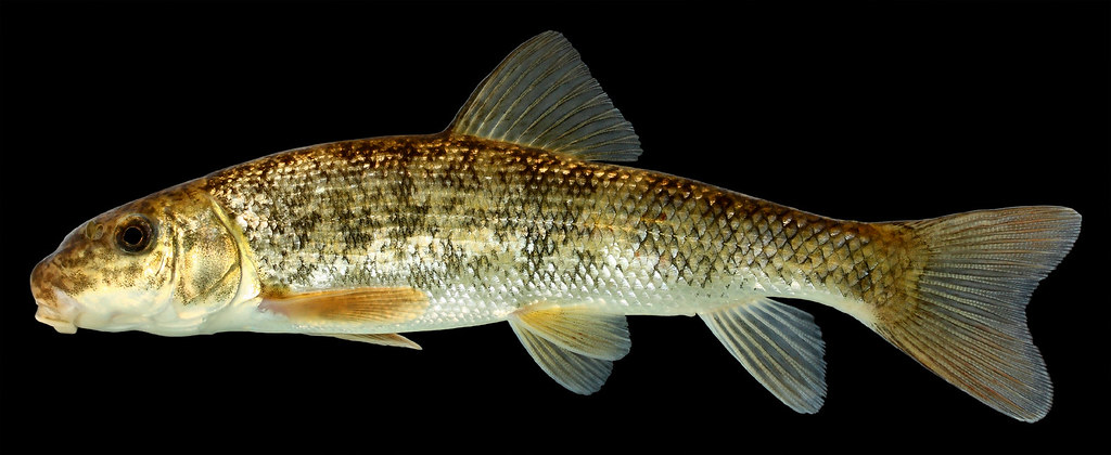 Catostomus Commersoni Illinois Kankakee County Flickr