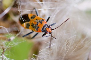 Corizus hyoscyami, an orange and black bug insect | by Roland Bogush