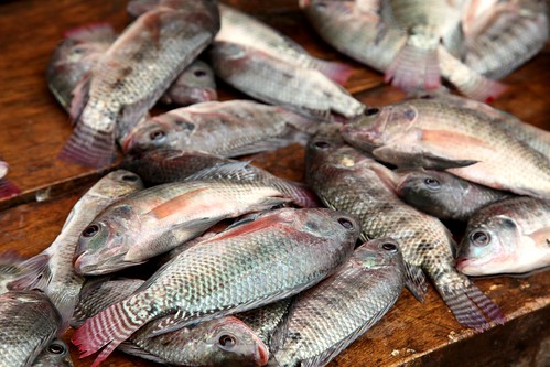 Freshly caught tilapia | by Jeremy Weate