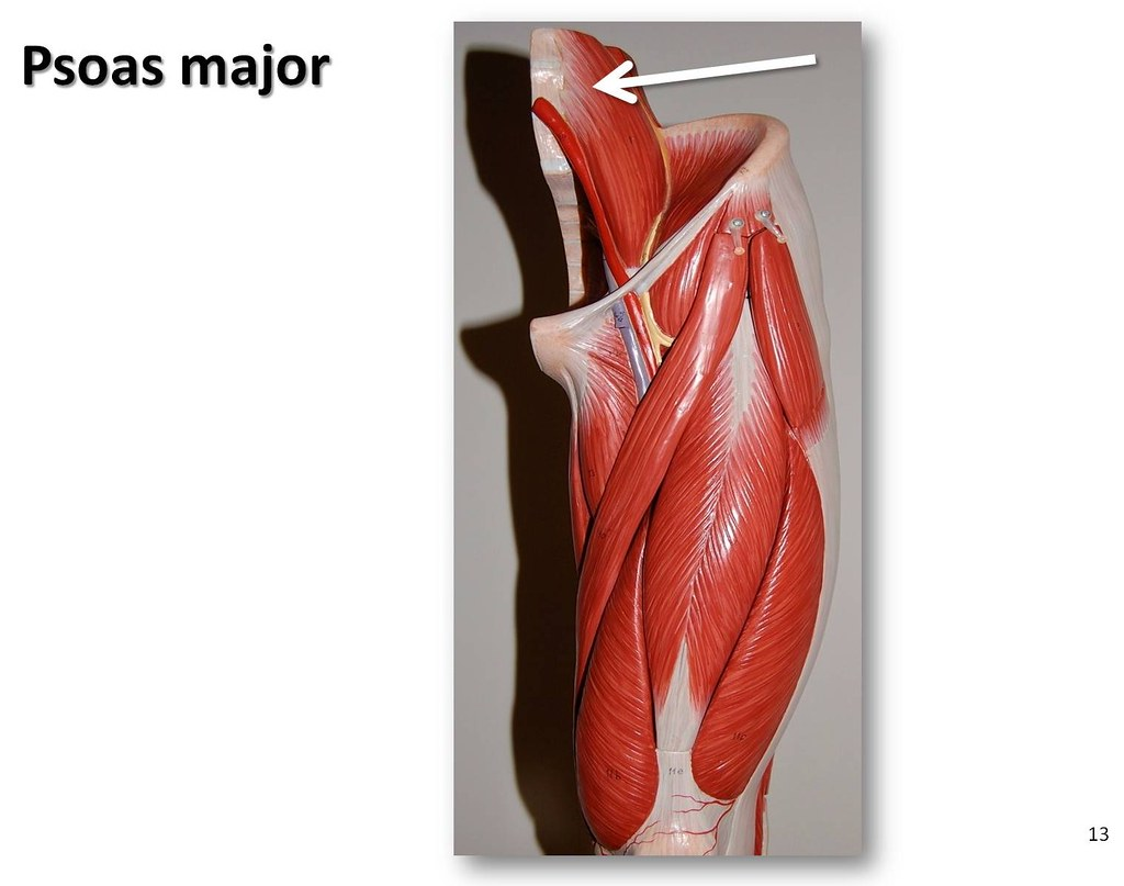 Psoas Major Muscles Of The Lower Extremity Anatomy Visua Flickr